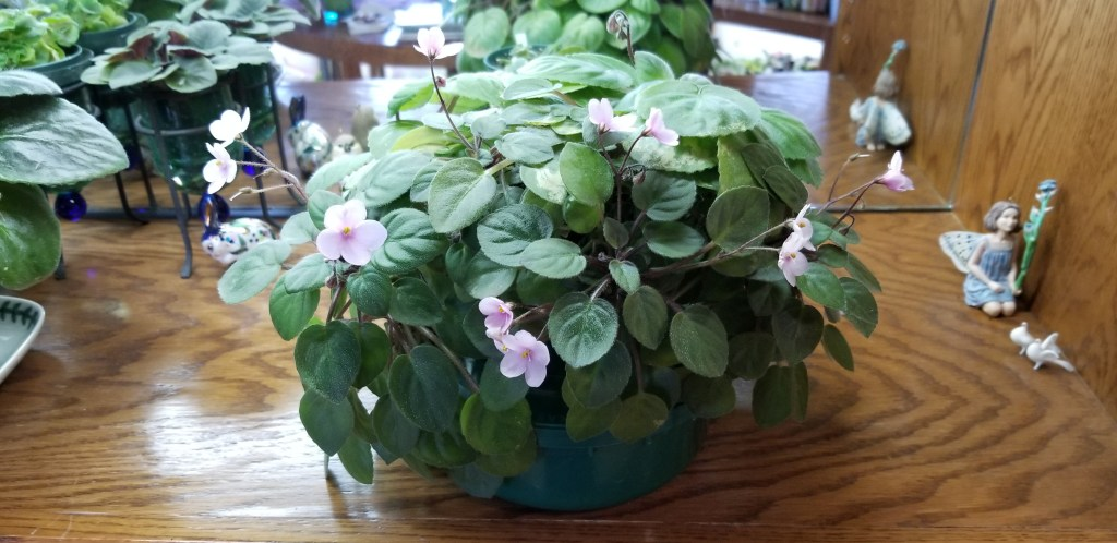 """Trailer Semi-miniature size, mature plant -6"""" dia, Pink, single pansy bloom, 1"""" flower, flower stem has 3-5 blooms. This is 4 plants showing here."""