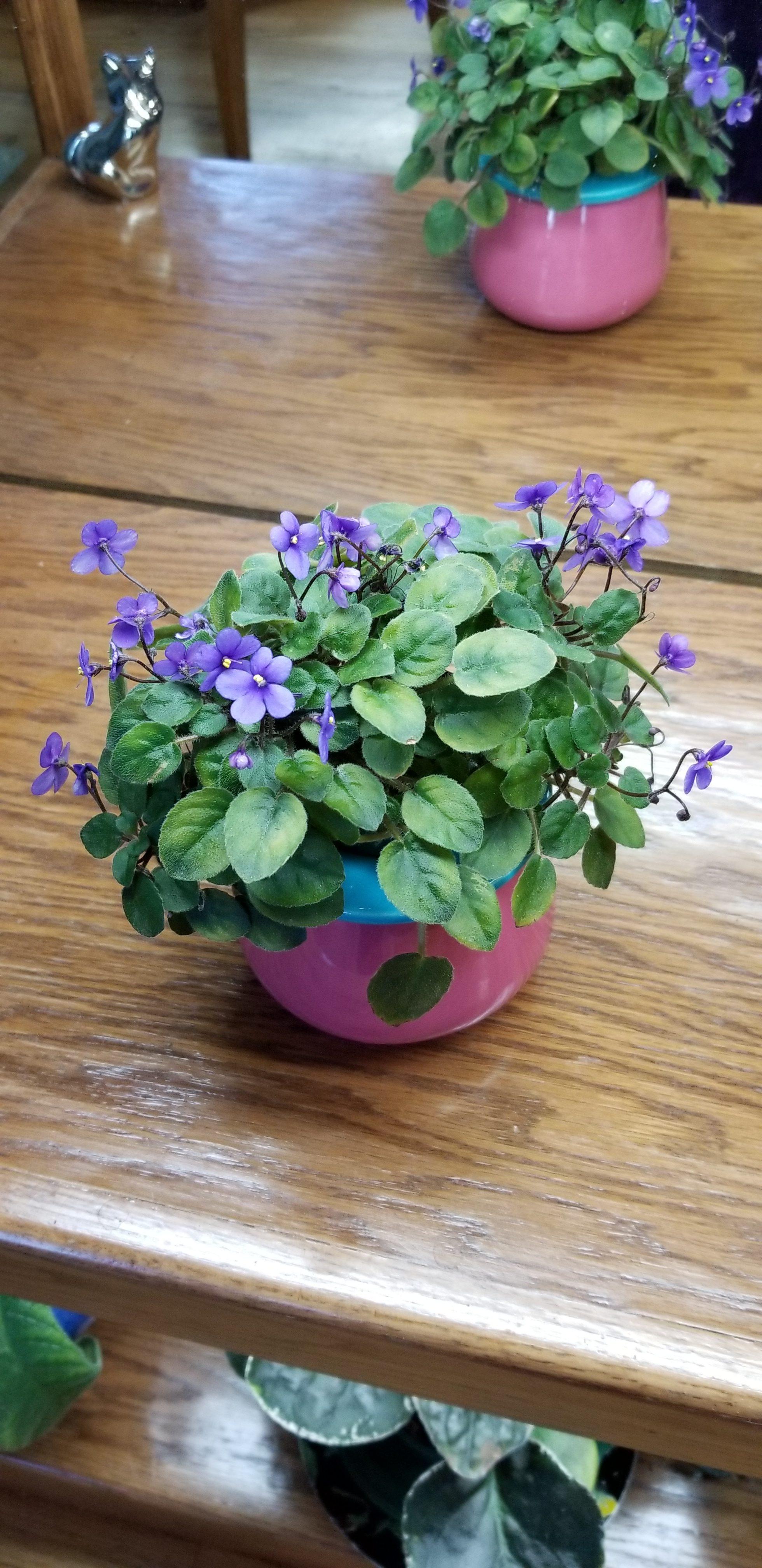 """Miniature trailer, medium blue-violet, 1"""" dia blooms, mature plant size 5-7"""", hybridizer Lyndon Lyon"""