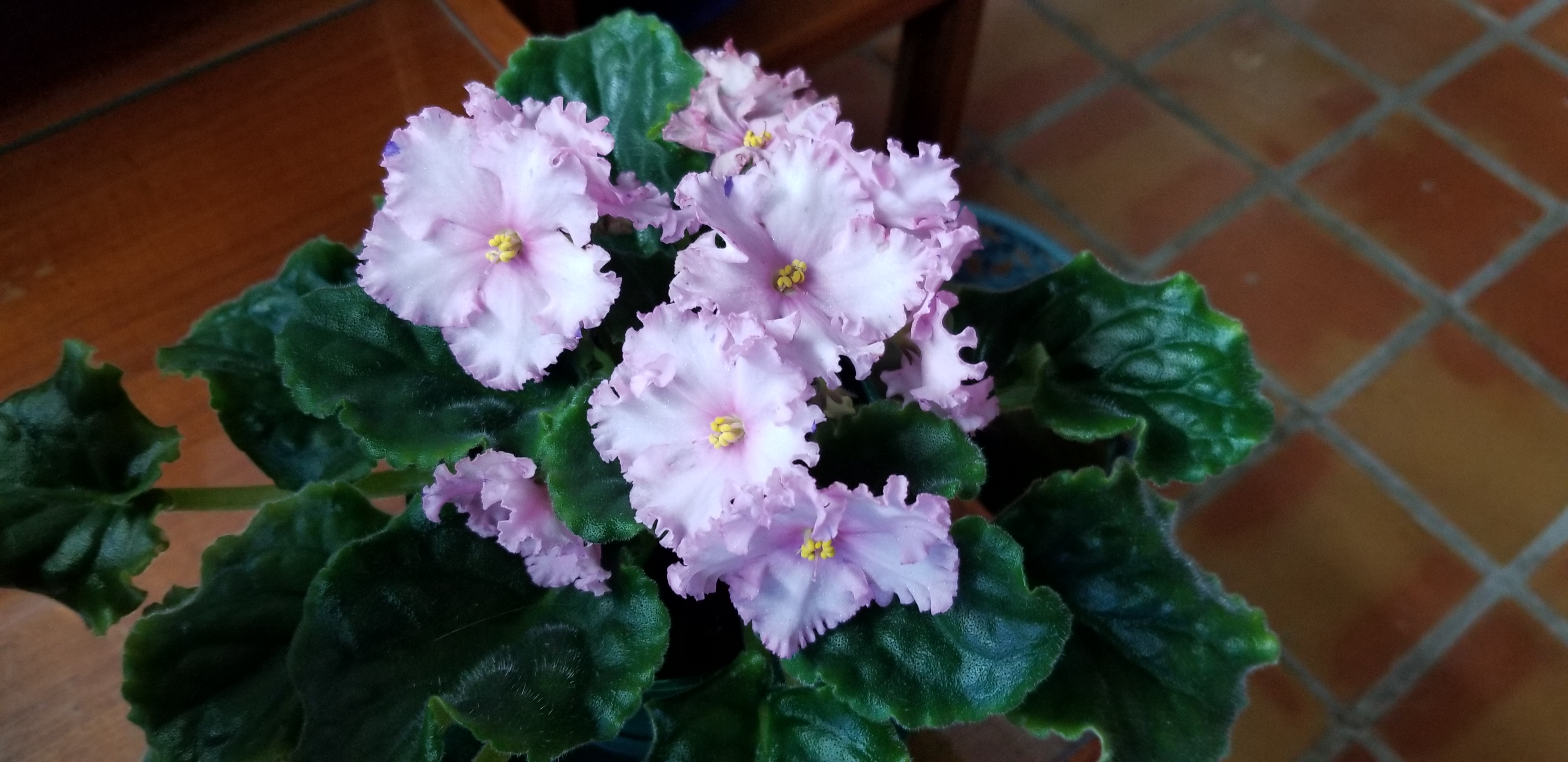"""Standard size, Pink with a few tiny blue dots, 2"""" bloom, foliage ruffled"""