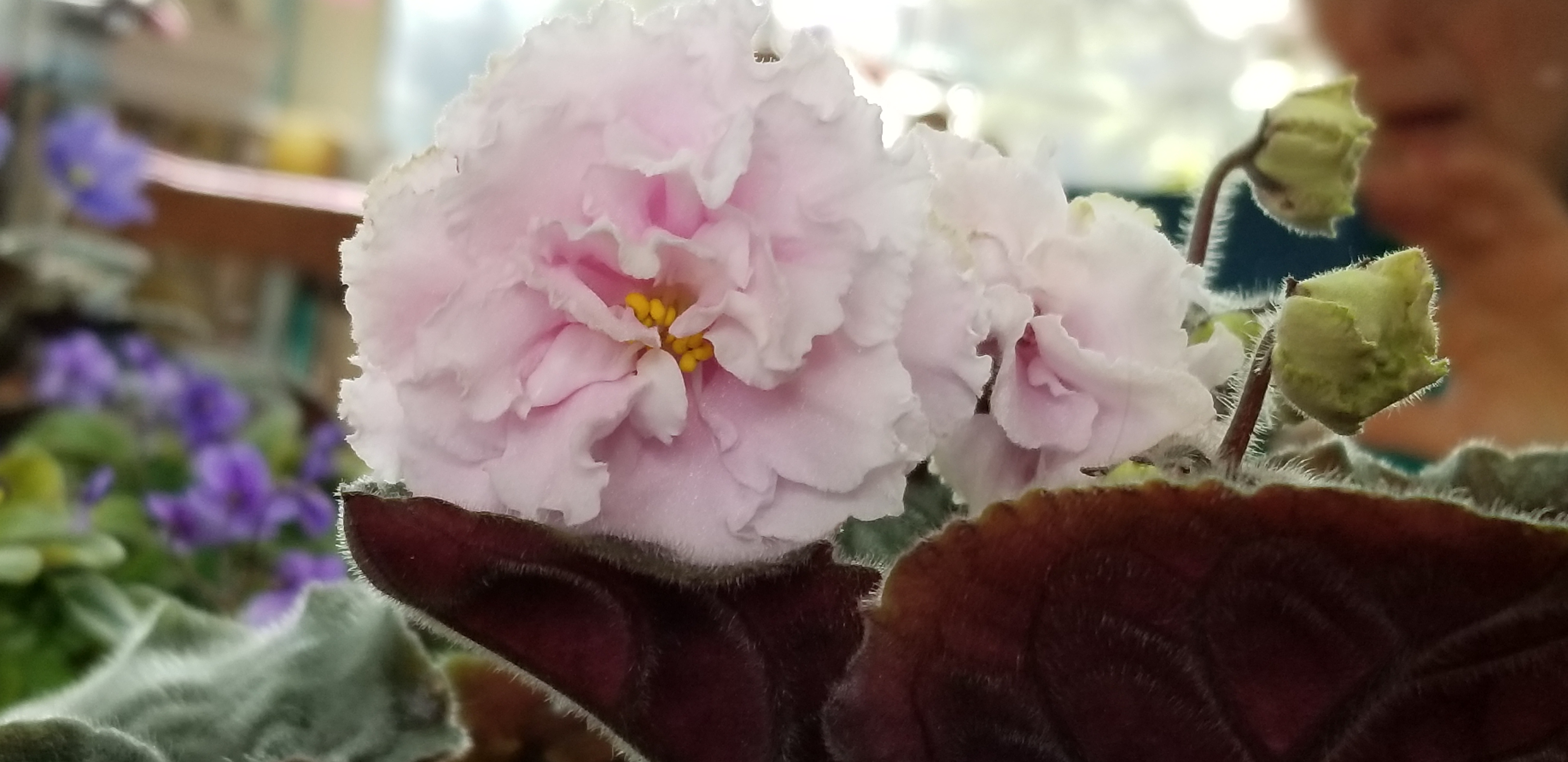 """Standard, Russian variety EK White Queen Belaia Korolera, White to pale pink 2.25"""" blooms tripple ruffled, foliage is medium green pointed quilted ovate."""