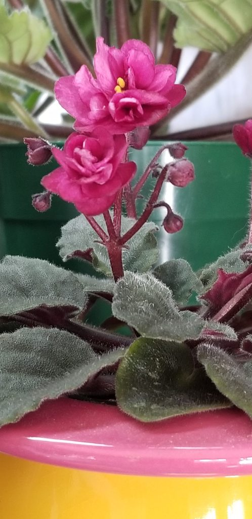 """Semi-miniature size, 4.5"""" dia plant, 5-6 blooms on each stem, 1.25"""" light claret red double bloom on reddish stems, tiny varigation on leaves, Pitman violets"""