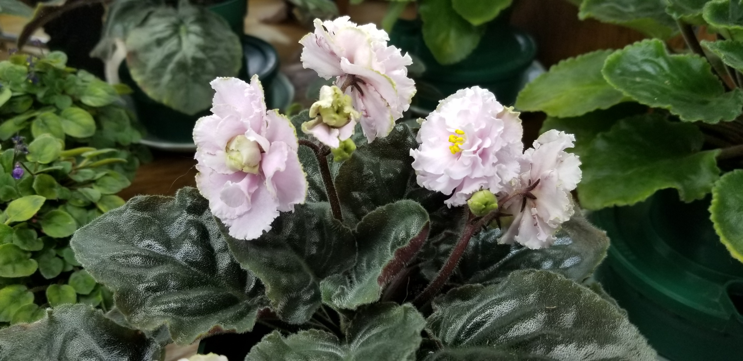 """White to pale pink 2.25"""" blooms semidouble large wavy star ruffled.                                                                                                          Size/growth habit:  Medium green pointed quilted ovate foliage"""