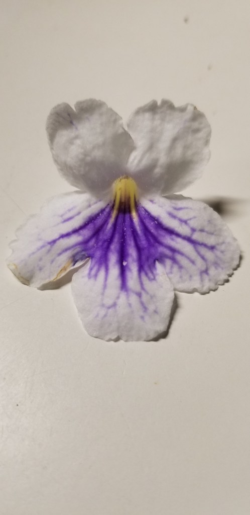 White with blue veining on lower petals, (in the african violet Gesneriad  family)                                                                                                               Size/Growth Habit:  Allow to dry to 'damp' condition between before watering again, keep                                         humidity low