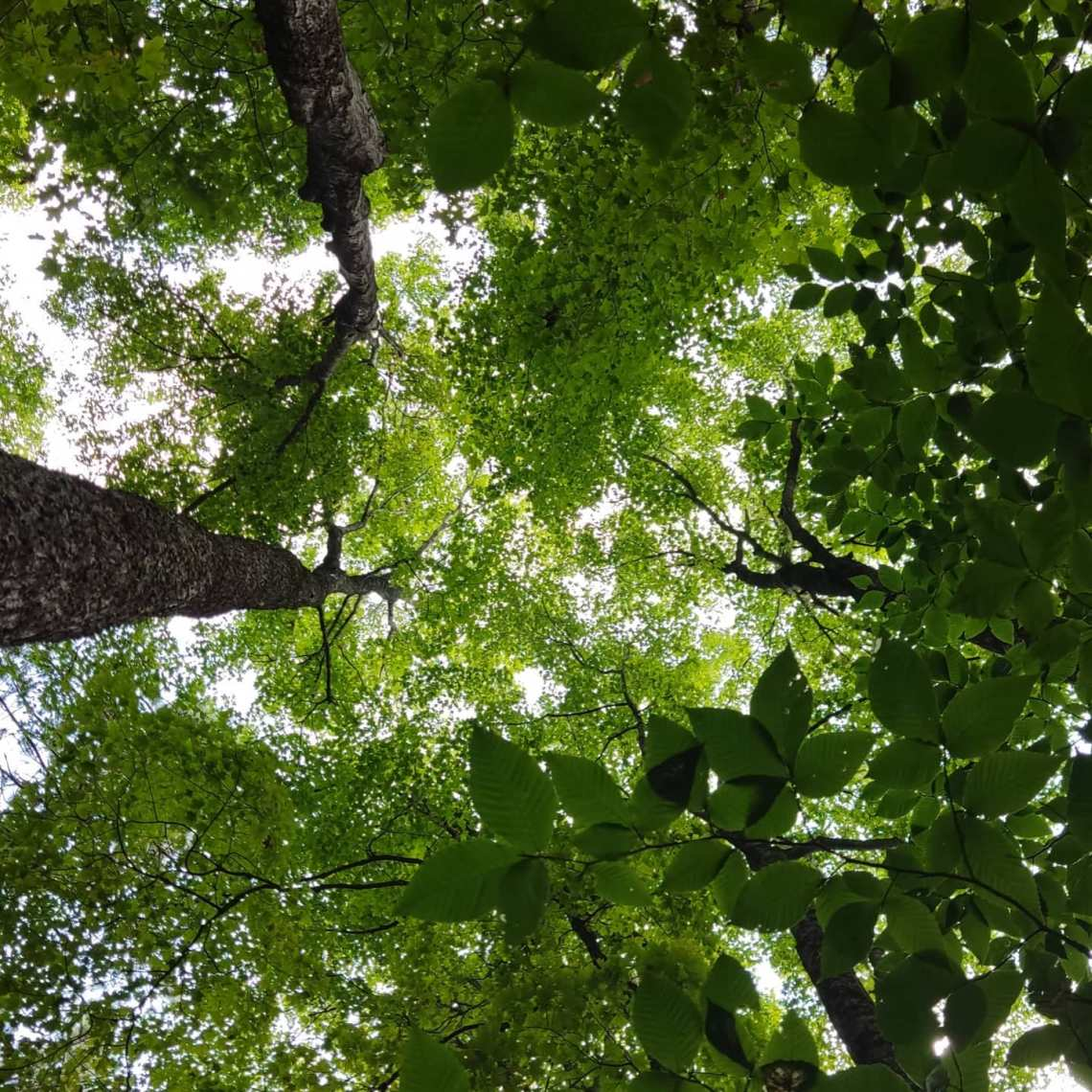 In Japan there's a word for sky seen through leaves. Could be inspiration for a bonbon. Relaxing in my hammock after lunch on the trail somewhat west of Vermont's White River. A couple more miles today and we'll find a place in the woods for the night. Eating much chocolate--the prefect trail food. #chocolatier #appalachiantrail