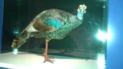 Dino Peacock