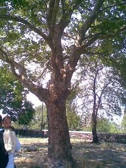 helen-tree
