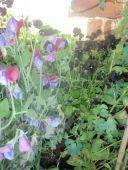 black pansies and sweet peas