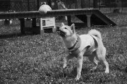 柴犬ハナ 生後8ヵ月 ボール遊び1