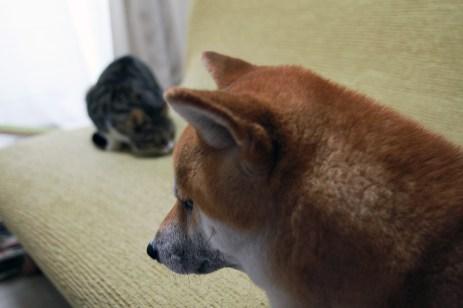 柴犬ハナ、元野良猫ニコににびびる