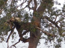 The leopard! Hard to see her and kill up in that tree
