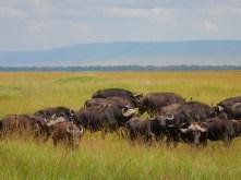 Herd of buffalo.