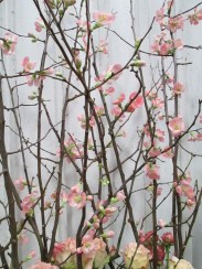 pink quince