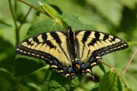 Tiger Swallow Tail
