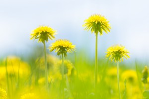 Lovely pic by German photographer Andreas Krappweis. It's called Dandelions.