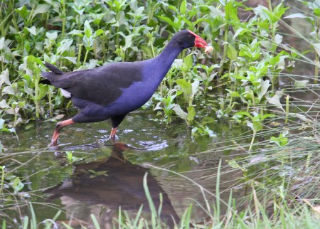 world wetlands day purple swamp hen