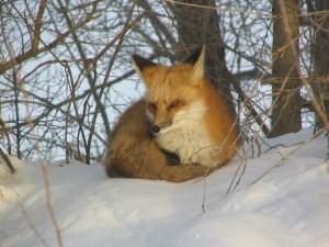 fox-in-the-snow-1-1563450-1280x960