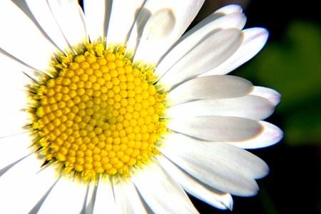 daisy-2-1481184 (2)
