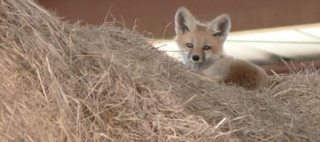 foxy-1396603