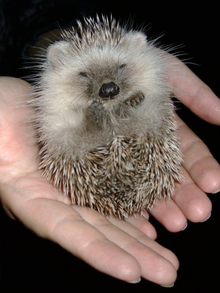 little-hedgehog-1467752