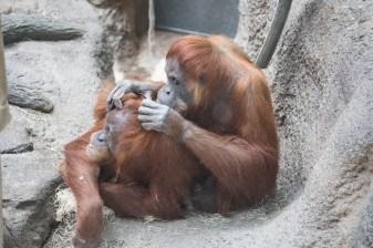 Orang grooming II