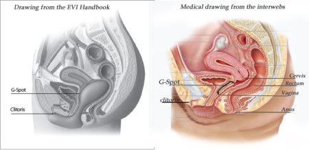 "The drawing on the left shows an artists rendering of where Evi sits in the vagina. It shows a compressed rectum and a very definitive position of where a G-spot ""should"" be"