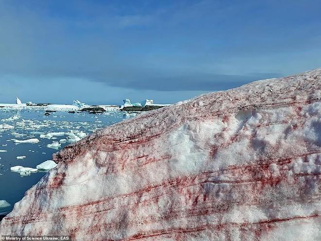 Giải mã hiện tượng tuyết đỏ như máu bao phủ quanh trạm nghiên cứu ở Nam cực - Ảnh 1.