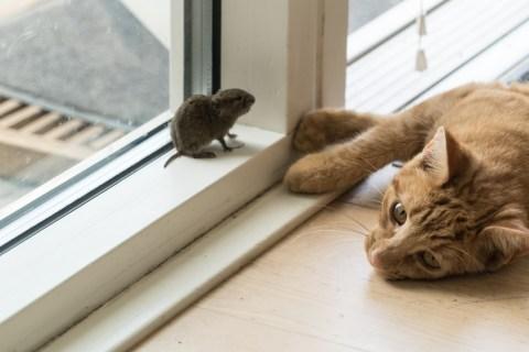 khi tạo hóa mới sinh ra loài vật, mèo và chuột thân thiết với nhau lắm. Chúng cùng ở chung một nhà. Vốn hiền lành lại to xác hơn chuột nên mèo thường nằm co ro ở góc tủ, xó bếp, người cho gì thì ăn nấy.