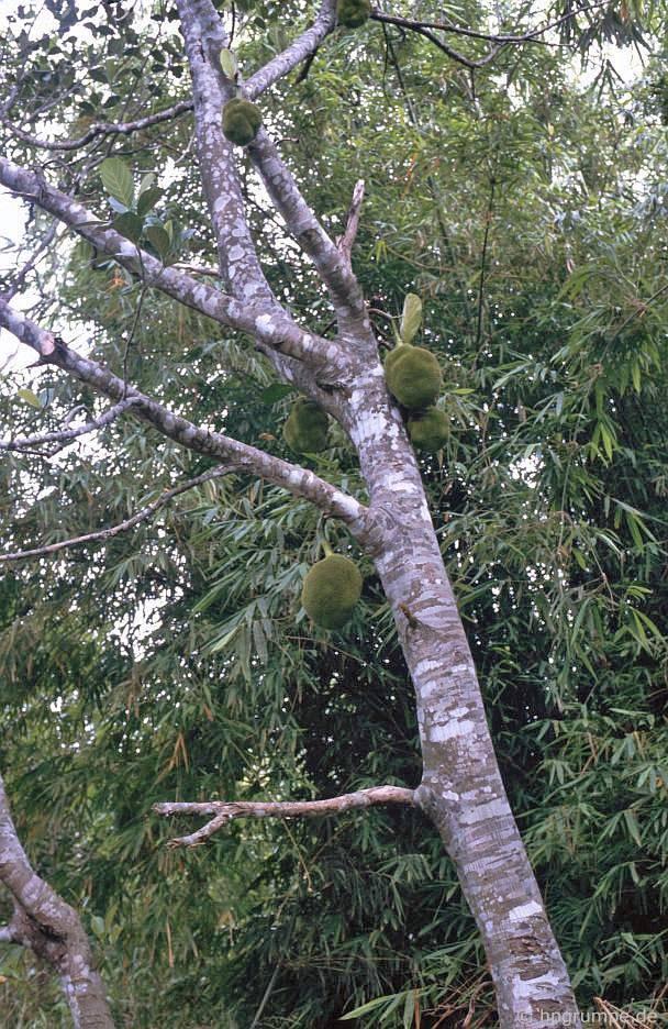 Jack Fruit Tree
