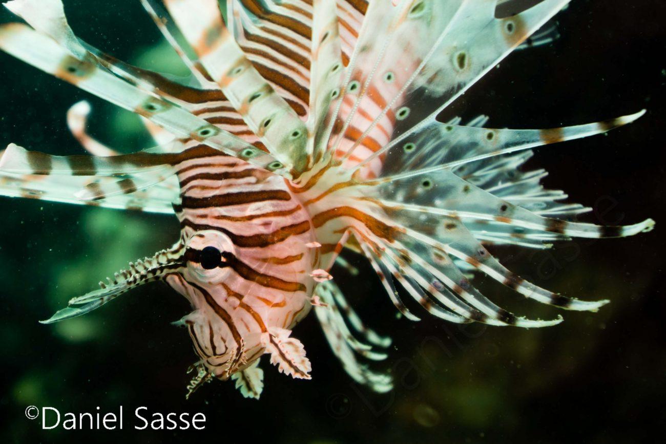 Red Lionfish Juvenile