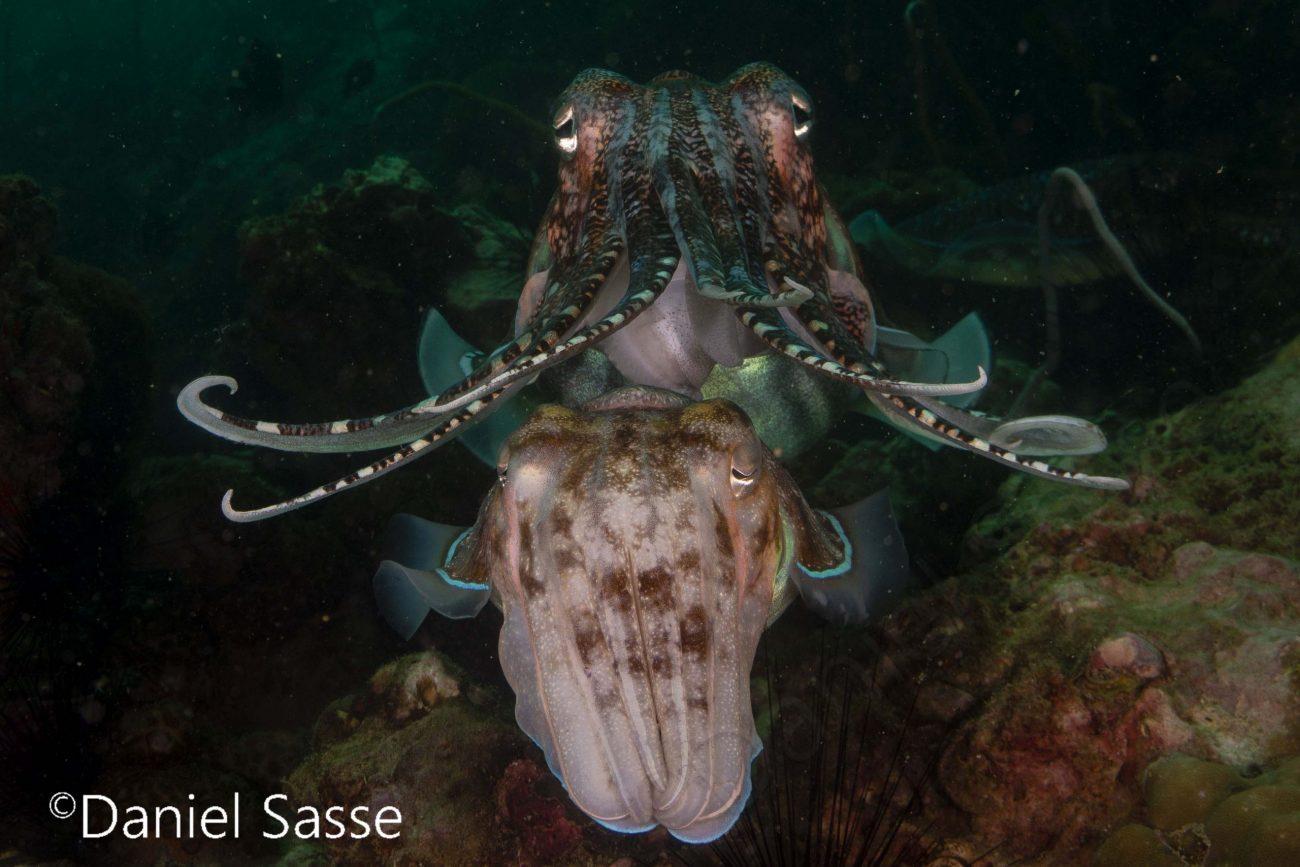 Pharao Cuttlefish
