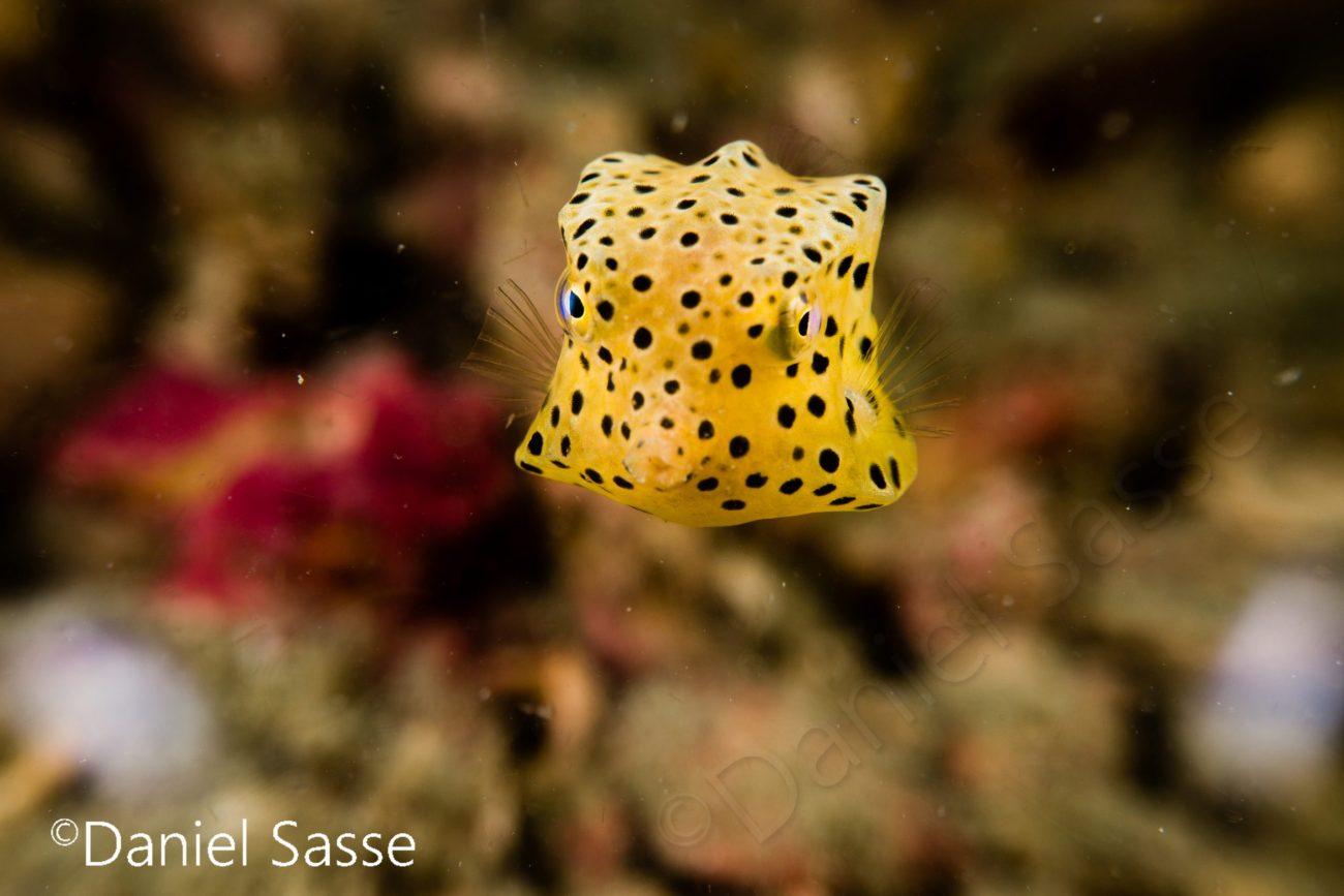 Juvenile Yellow Boxfish