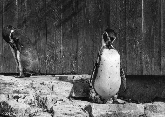 Humboldt penguin Birdland October 2019
