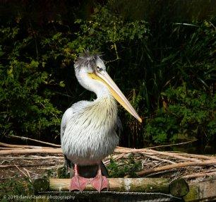 Pelican Birdland October 2019