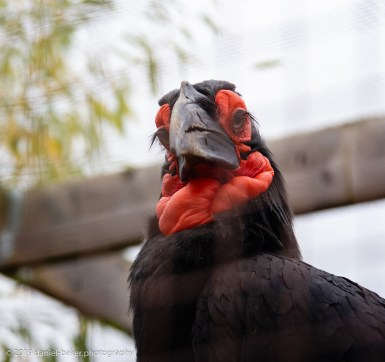 Hornbill at Birdland October 2019