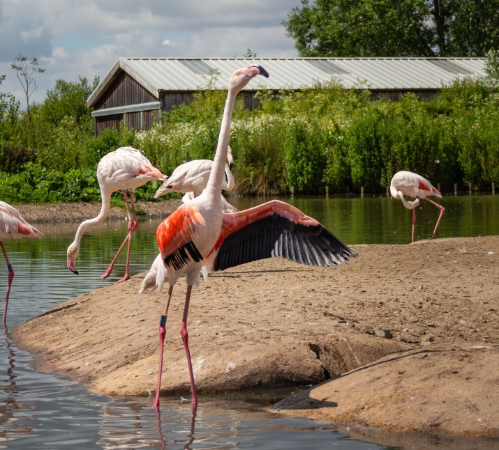 Flamingos at WWT Slimbridge