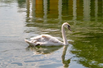 A swan with it's image reflected in the water