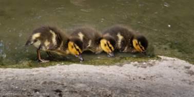 Ducklings at WWT Slimbridge