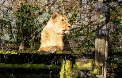 Lion at Bristol Zoo