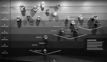 Skulls at the Natural History Museum London