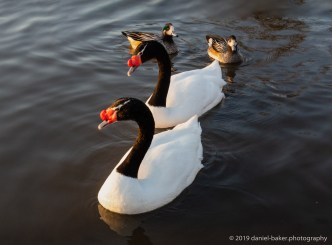 black necked swans at WWT Slimbridge