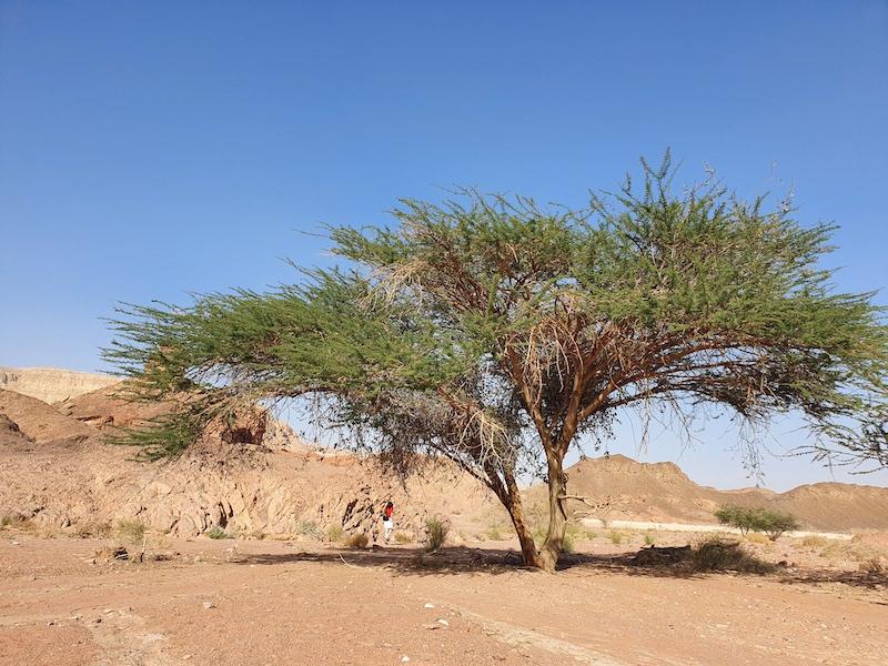 visit israel timna park desert tree