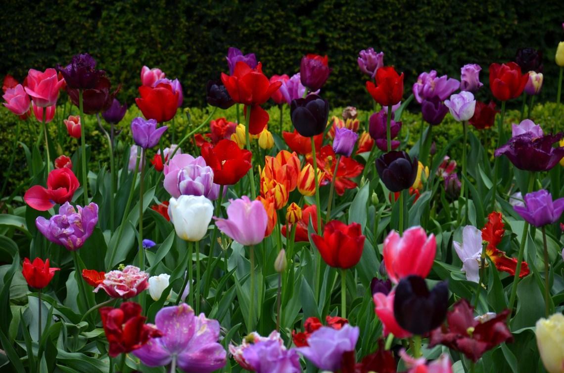 tulipas - holland park