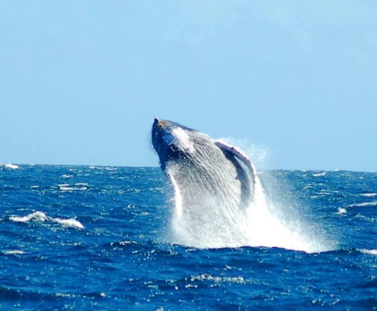 indimenticabili escursioni da fare in repubblica dominicana: vedere le balene di samana
