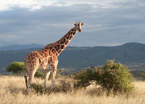 Reticulated giraffe, Lewa Wilderness Conservancy