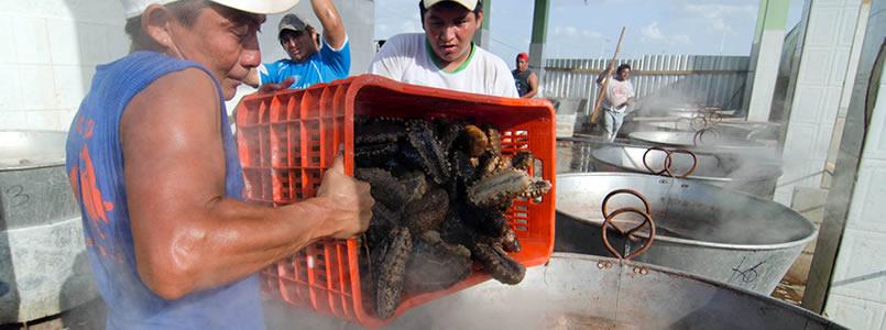 Cárcel a quien comercialice ilegalmente el pepino de mar es ley*