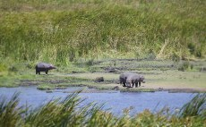 a rarity indeed...hippo's out of the water_db