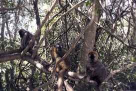 hear no evil see no evil speak no evil_red fronted brown lemurs_Isalo