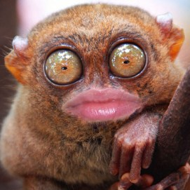 Tarsier with silly Daniele Hopkins mouth