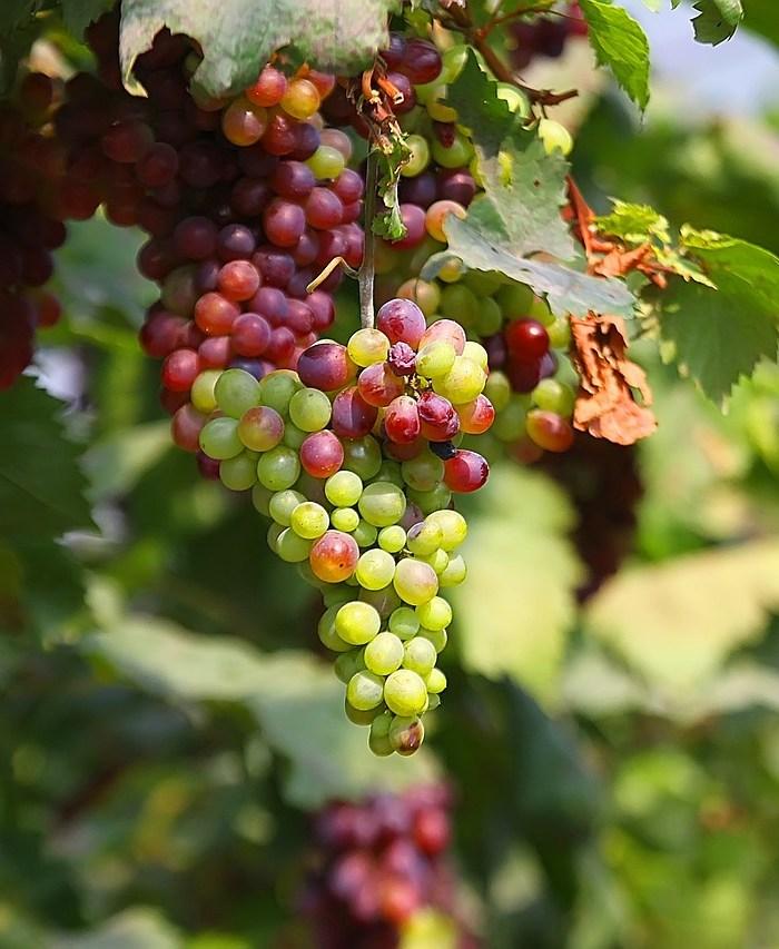 Os benefícios da uva