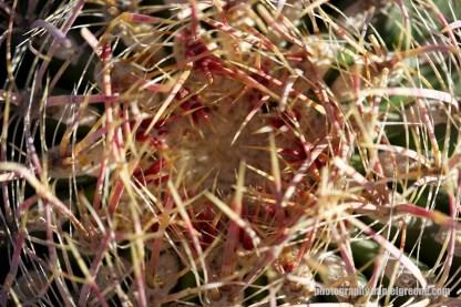 Looking into a barrel cactus